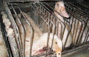 foie_gras_oca1.jpg