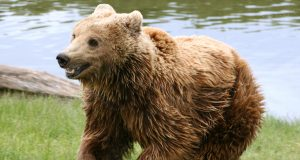 brown_bear_ursus_arctos_arctos_running.jpg