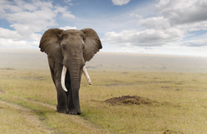 elefantgeafricano.png