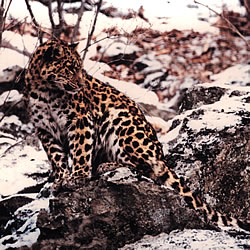 leopardo.jpeg