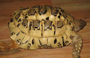 tarta-leopardo.jpg