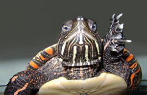 us_blm_painted_turtle_picta_pic2.jpg
