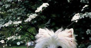 west_highland_white_terrier-2.jpg