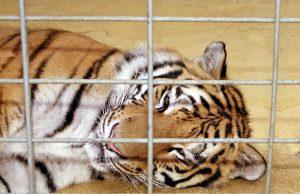 zoo-tiger-015.jpg