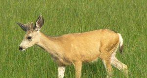 cervo-salvato-dallo-steccato.jpg