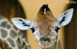 giraffina.jpg