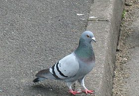 piccione.jpg