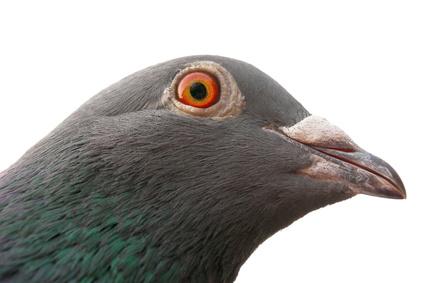 piccione.png
