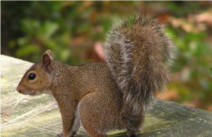 scoiattologrigio.jpg