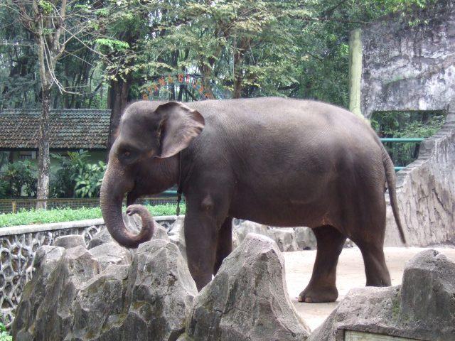 sumatra_elephant_ragunan_zoo_3.jpg
