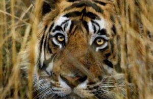 tigri_bracconieri01_bf1a821f.jpg