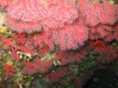 corallorosso.jpg