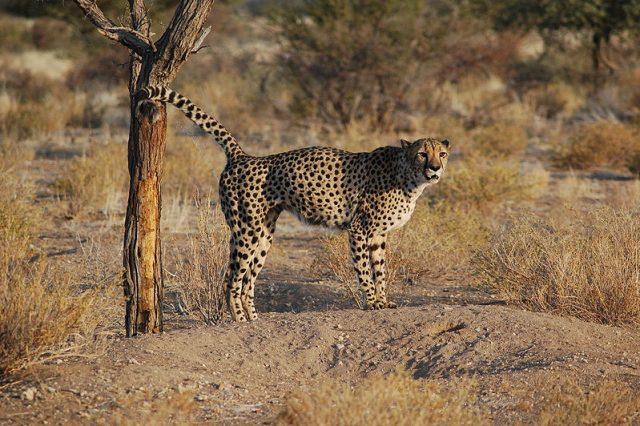 ghepardo.jpg