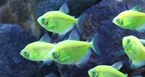 glofish_electric_green_tetra_midres1.jpg