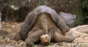 lonesome_george_-pinta_giant_tortoise_-santa_cruz.jpg