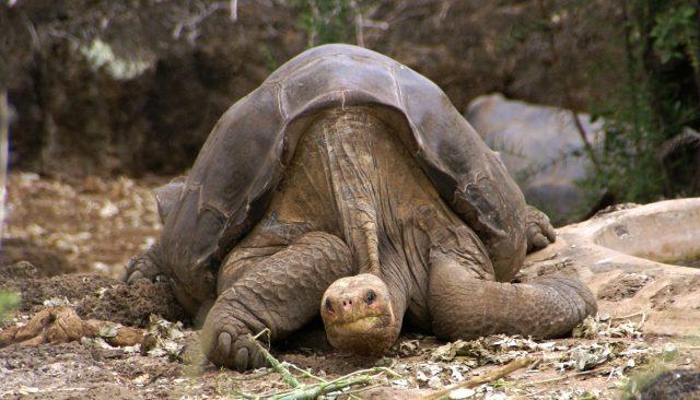 lonesome_george_-pinta_giant_tortoise_-santa_cruz.jpg