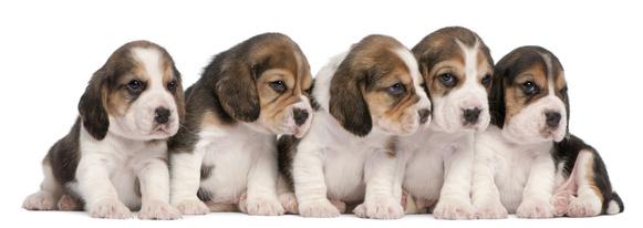 beagles.png
