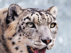 leopardoneve.jpg