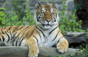 tigresib.jpg