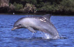 delfinoaduncus.jpg