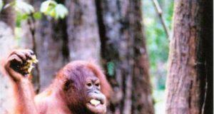 orangosumatra.jpg