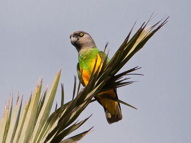 pappagallosenegal.jpg