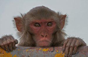 rhesus_macaque_macaca_mulatta_in_kinnarsani_ws_ap_w_img_5792.jpg