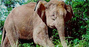 elefantepigmeo.jpg