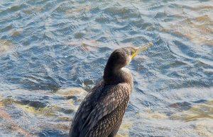 cormorano.jpg