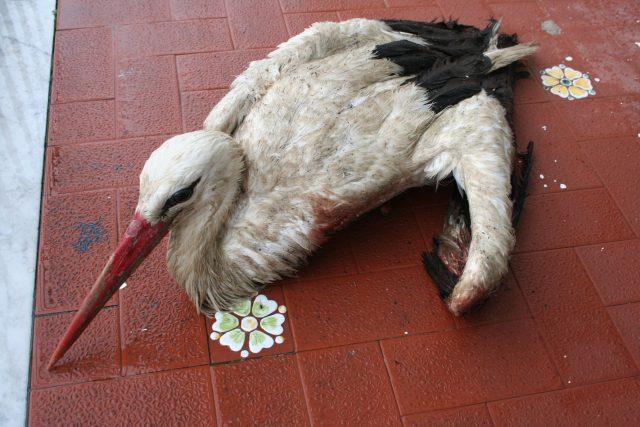 cicogna ferita a ischia.jpg