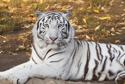 tigrebianca.png