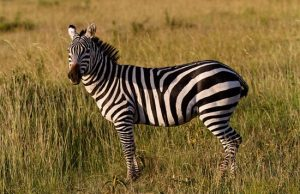 zebrapeta.jpg