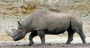 rinocerontenero.jpg