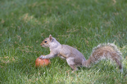 scoiattolo_grigio.png