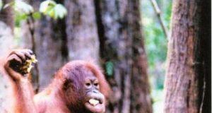 orangosumatraok.jpg