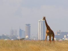 giraffe_-_skyline_-_nairobi_-_park.jpg