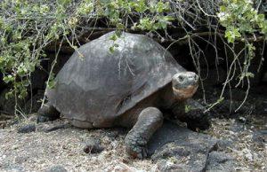 tartarugagalapagos.jpg