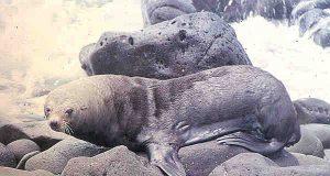 foca orsina.jpg