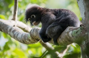 scimmiaurlatricenera.jpg