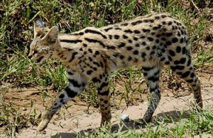 375px-leptailurus_serval_-serengeti_national_park_tanzania-8.jpg
