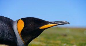 pinguino reale.jpg