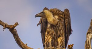 white-backed_vulture_chobe.jpg
