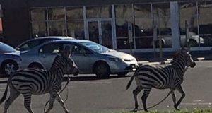 zebre philadelhia.jpg
