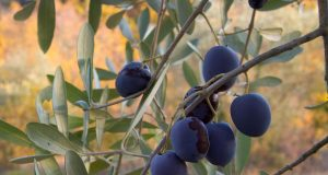 olive_fruit_on_the_branch_2007.jpg