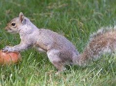 scoiattologrigioape.jpg