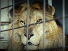 leone circo.png