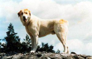 central_asia_shepherd_dog.jpg