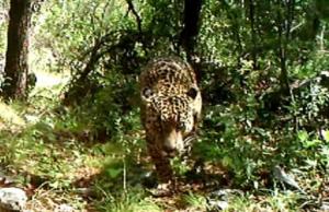 giaguaroeljefe.png