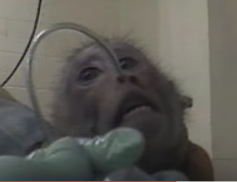 scimmiasperimentazione.png