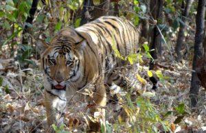 tigrejai.jpg